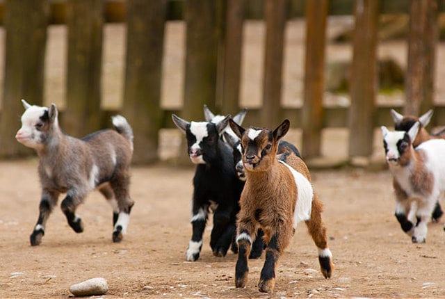 goat-kids-commercial-goat-farming-business