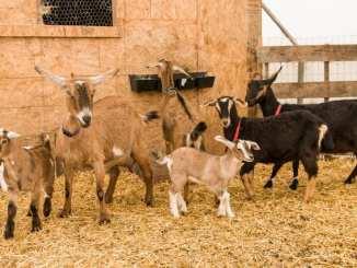 goat-shelter