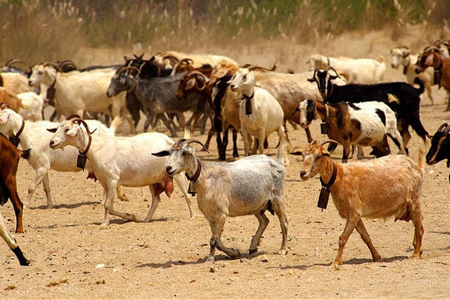 starting-a-goat-farming-business