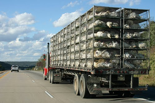 transporting-chickens-pickup-truck