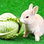what do rabbits it. Can-rabbits-eat-cabbage
