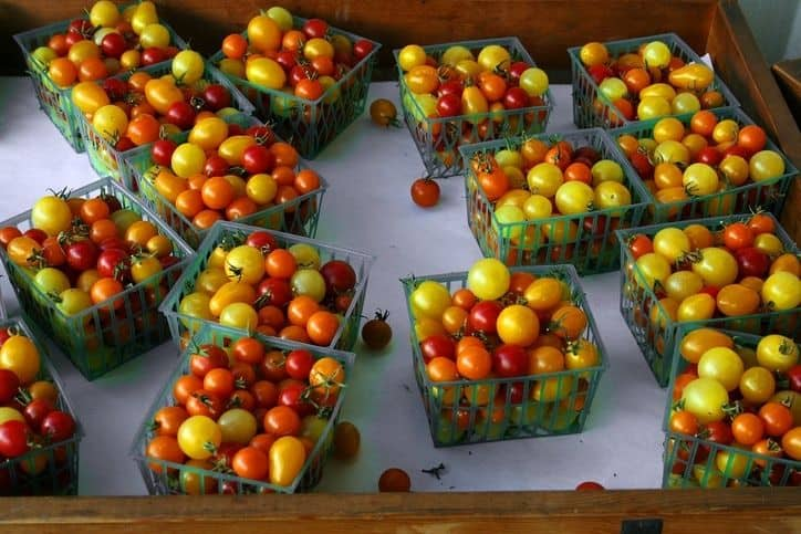 harvesting tomatoes into boxes for sell in the market