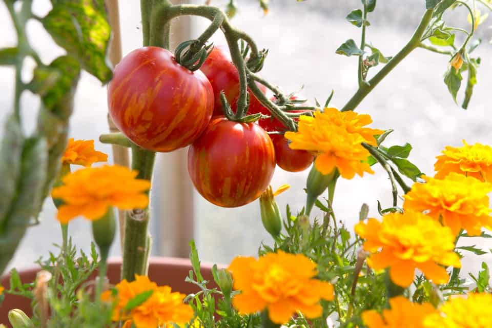 tomato companion plants the best and the worst crops to grow with tomatoes