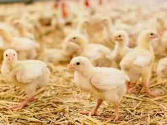 deep-litter-housing-system-for-chickens