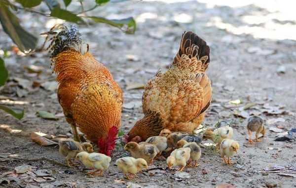 how to start local chicken farming in Nigeria
