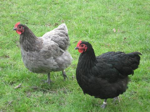 Australorp_Blue_and_Black_large chickens