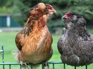 Origin, characteristics and breed information of the araucana chicken