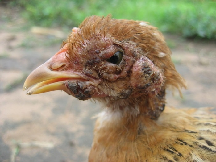 fowl pox disease in a young chicken