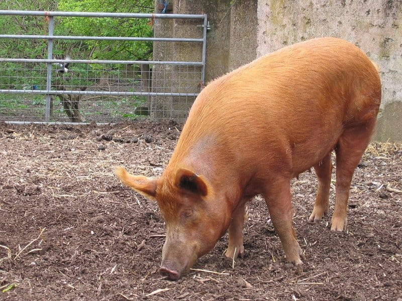 tamworth_pig_breed