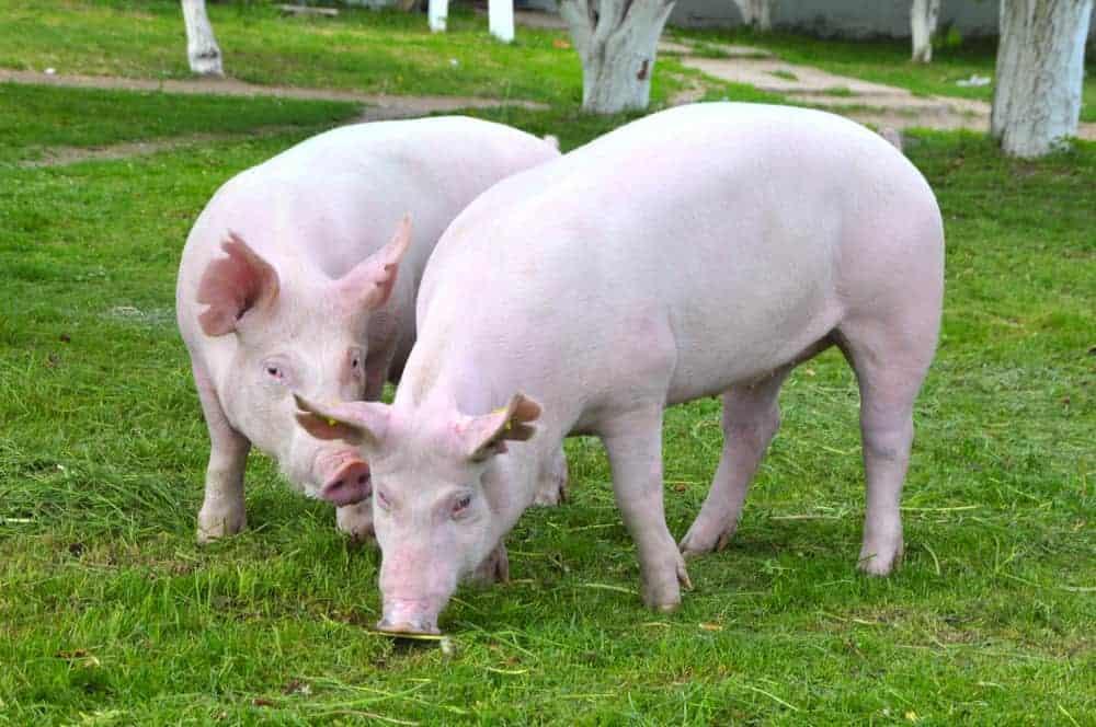 yorkshire-pig breed