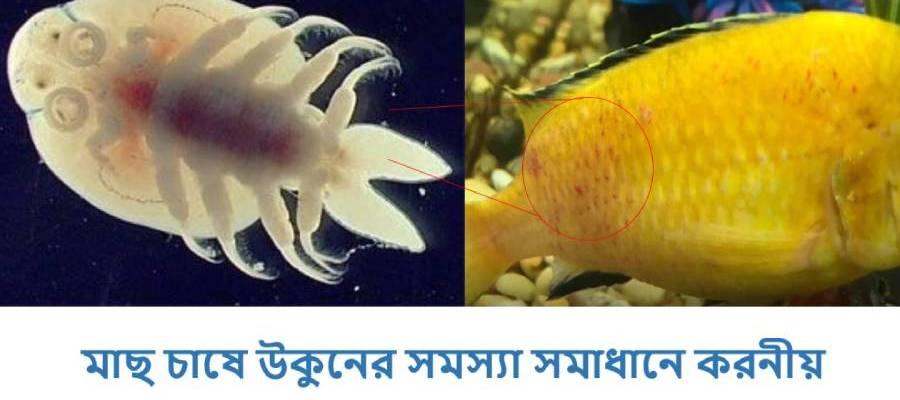 Argulas Fish Lice