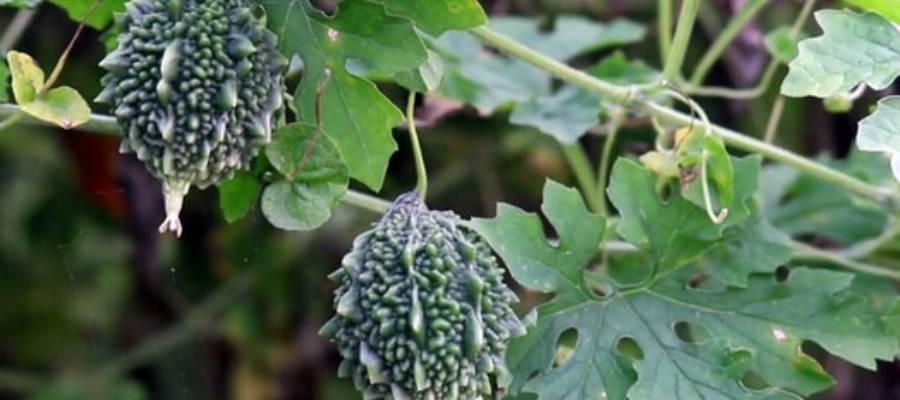 করলার গাছ (Balsam apple tree)