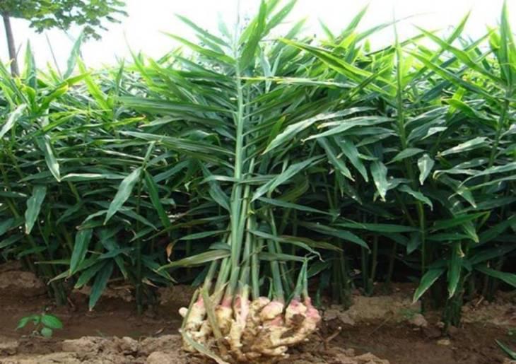 Ginger Harvesting