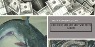 Catfish hatchery business in Nigeria 2022