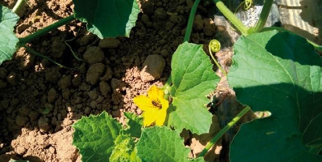 Una investigación de la UCAV desarrolla un bioestimulante para el cultivo del melón