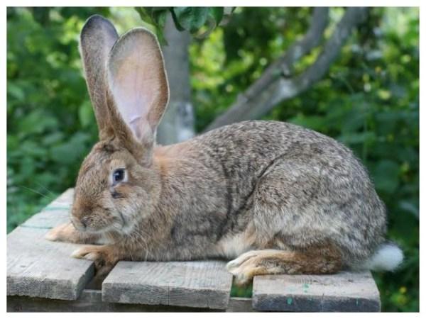 Кролики ризен - Agrodelo