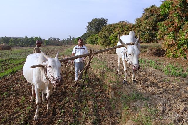 Arado de bueyes para la preparación de terrenos cultivables