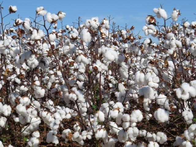 a algodão embrapa