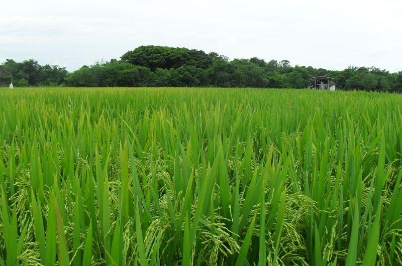 arroz plantacao