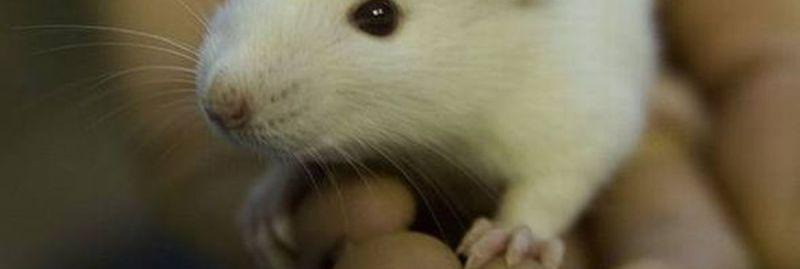 rato ebc