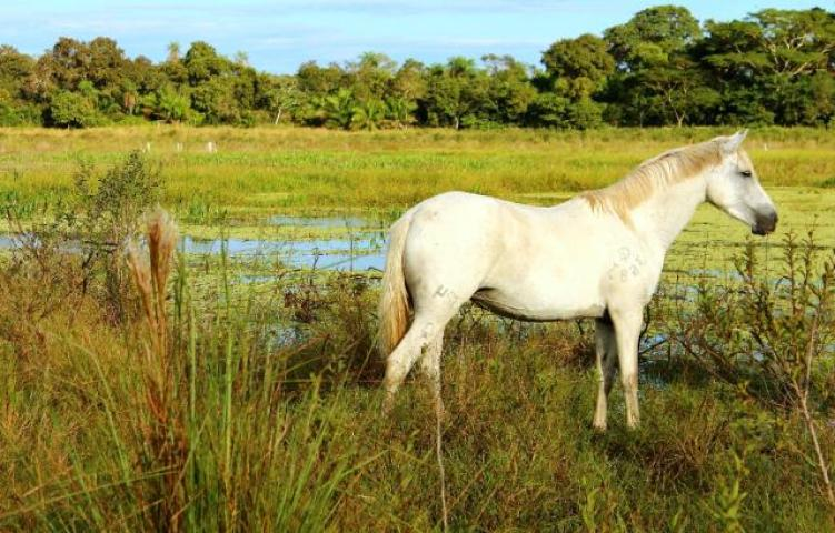 cavalo 6 4