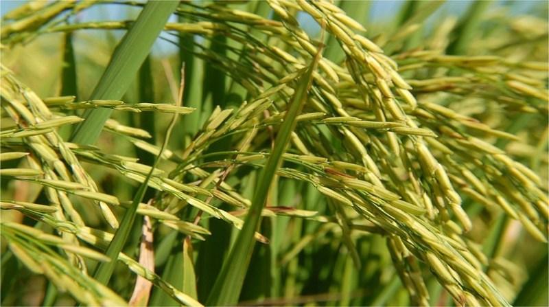 arroz 21 5 21 5