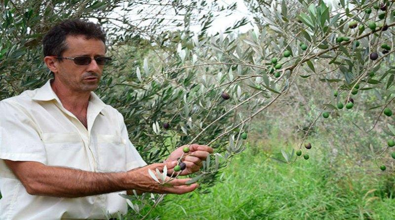 oliva produtor
