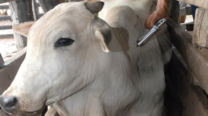 vacinacao gado aftosa adapec to