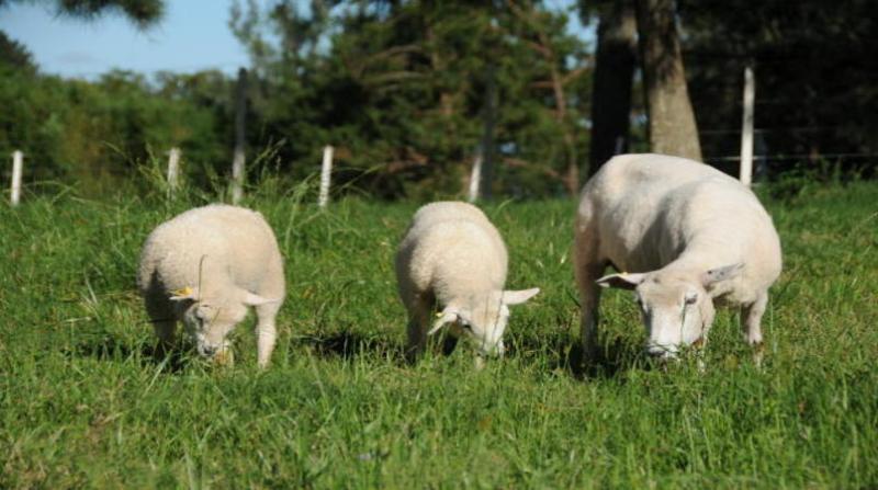 ovelhas 5 6