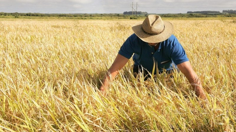 produtor arroz 11 6
