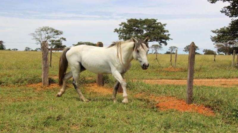 cavalo embrapa 2 7 18