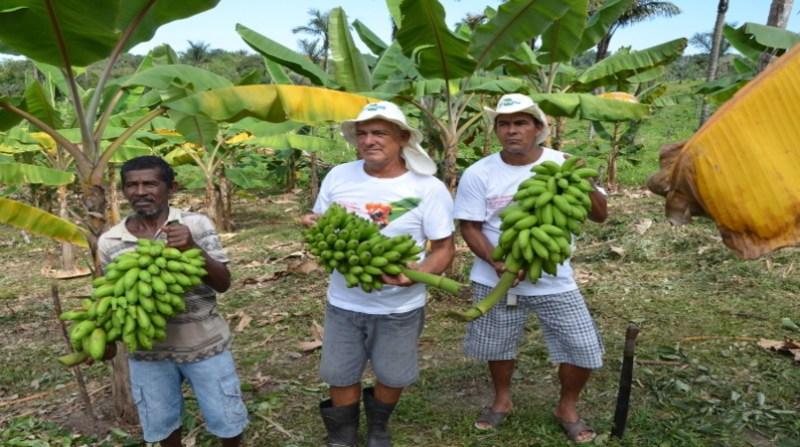 colheita banana manaus