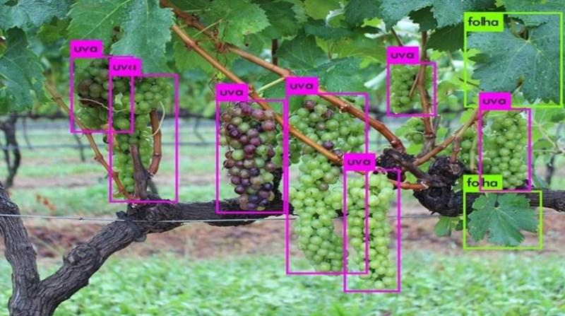 plantas uva identificaçao automatica