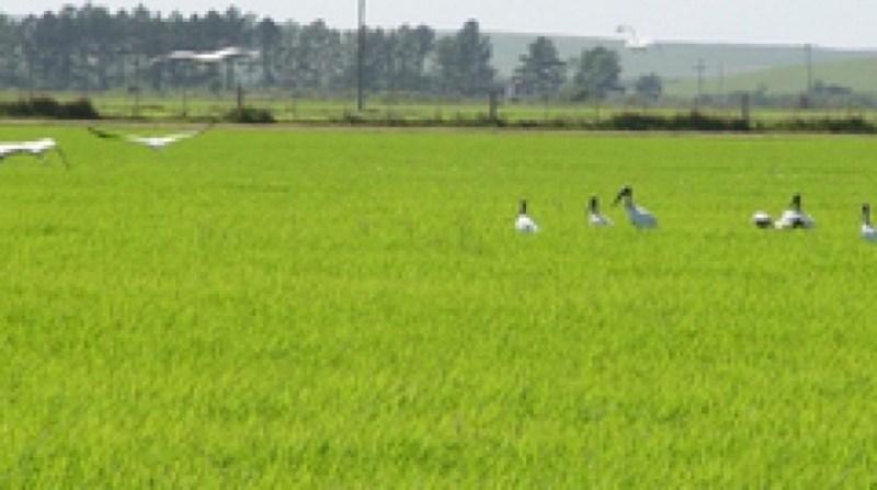 plantacao arroz 1 8