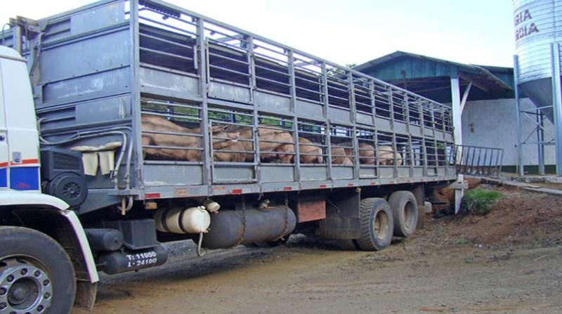 suinos-3 transporte 7 8 18