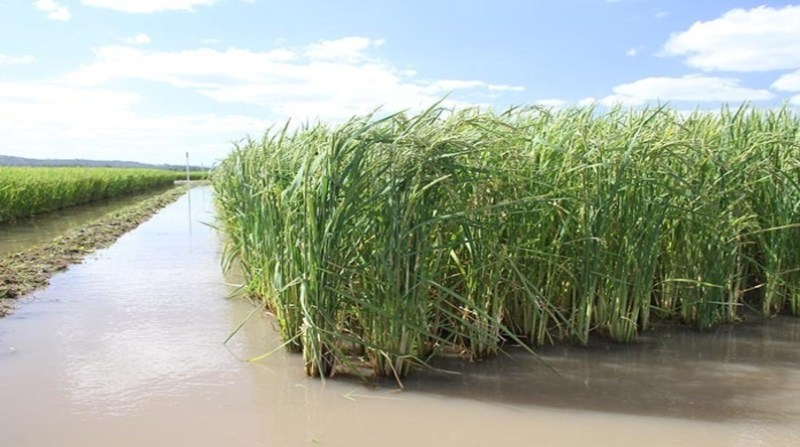 arroz irrigado paulo lanzetta embrapa
