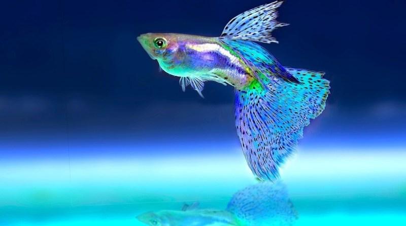 peixe ornamental pixabay