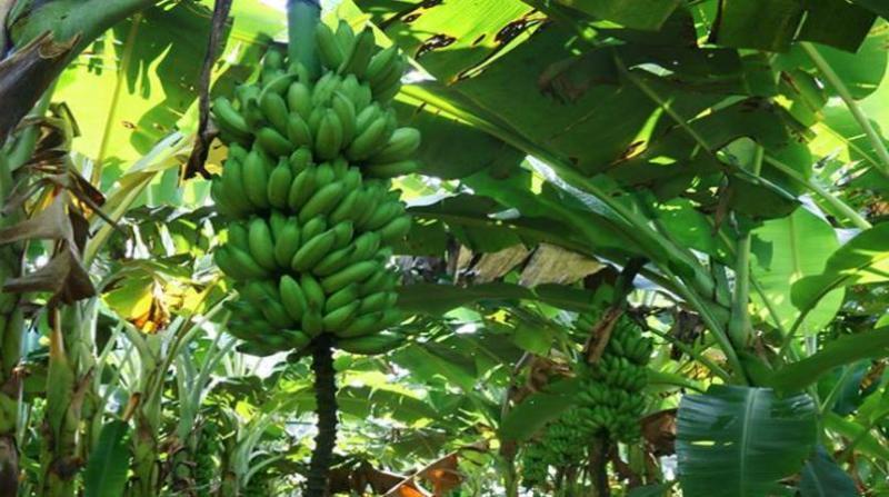 plantacao banana rr embrapa