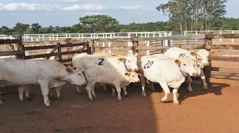 vacas sombra embrapa