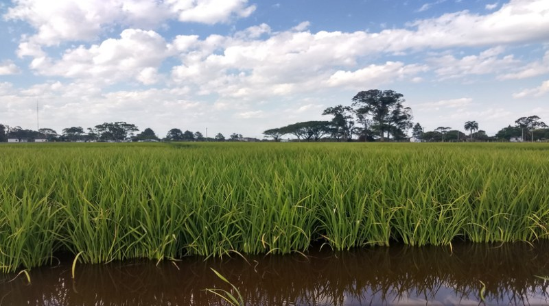 Lavoura arroz 15 12 Abertura da Colheita - Crédito Nestor Tipa Júnior AgroEffective Divulgação