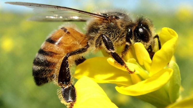 abelha defensivo biologico 9 1 19