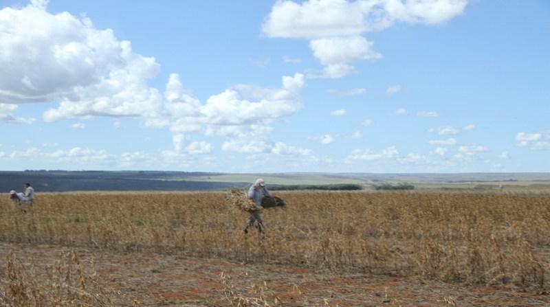 campo agricultor colheita 23 1 19