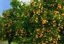 Oferta reduzida eleva preços da laranja em São Paulo