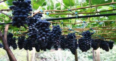 Ministério da Agricultura reajusta em 11,96% o preço mínimo da uva