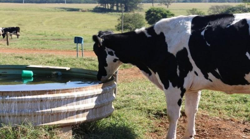 bovino tomando agua _ aianne amado_embrapa