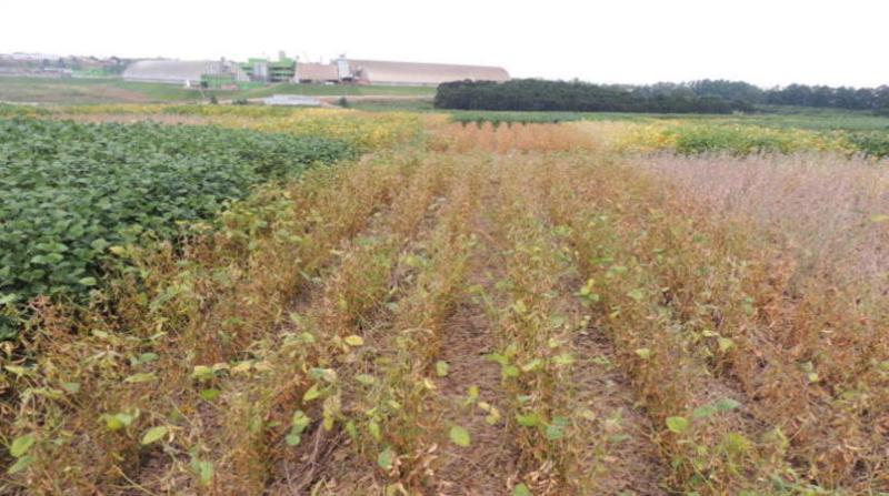 cultivares soja luiz strieder embrapa 8 3 19