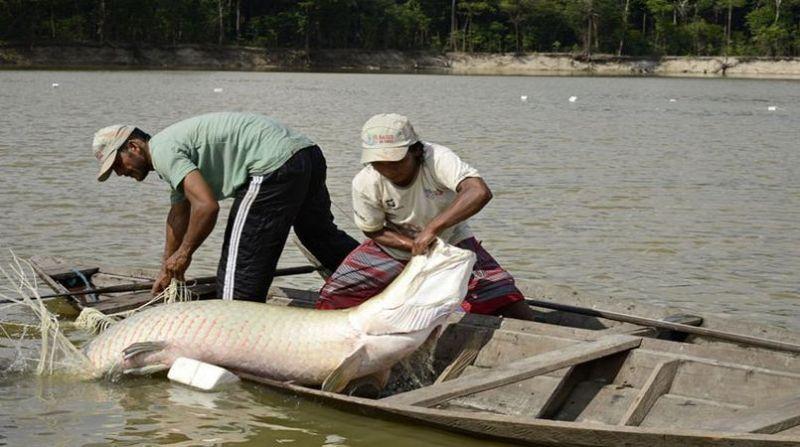 peixe pirarucu diuvlgacao opan adriano gambarini