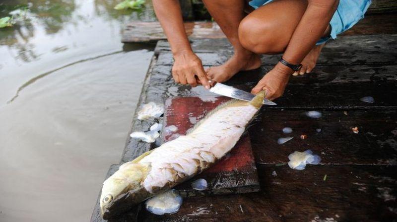 peixe tomaz silva agencia brasil