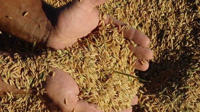 arroz irga 5 12
