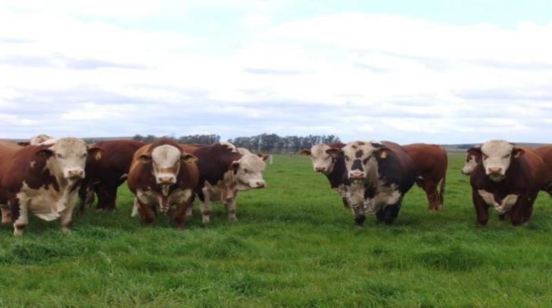 bovinos boi gordo 21 3 19